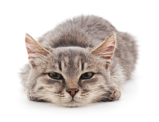 Gray kitten.