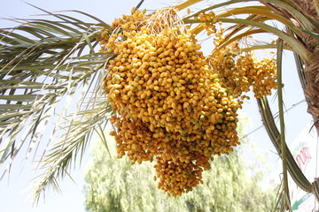 palm branch with bright yellow fruit - close-up view - stock photo