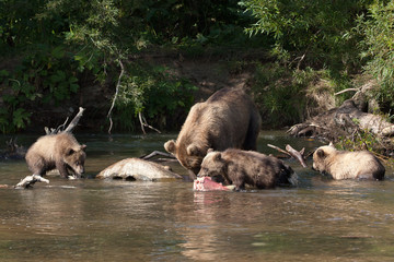 Female bear with three cubs fishing. The cub eats fish
