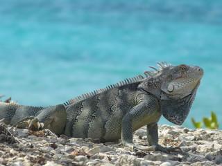 Iguana near the sea