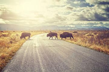 Retro afgezwakt Kudde Amerikaanse bizons (Bison bison) die de weg oversteken in het Grand Teton National Park bij zonsopgang, Wyoming, Verenigde Staten.