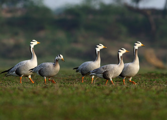 The bar-headed goose (Anser indicus )