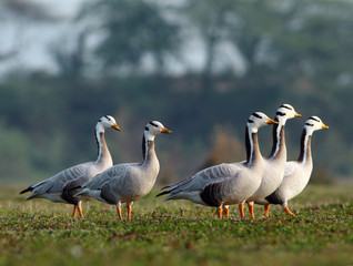 Bar Headed Goose in grassland