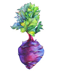 Fresh purple cabbage kohlrabi with green leaves (German turnip).Watercolor hand painting illustration on isolate white background.