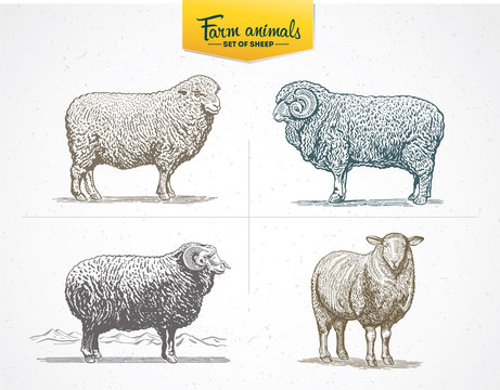Set of images - sheep in graphic style, vector illustration drawn by hand.