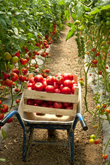 harvest of tomatoes in the garden