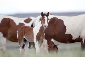 Wild Mustang Foals in Wyoming