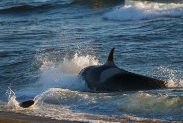 Killer Whale, Patagonia, Argentina