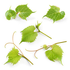 Fototapete - Grape leaves isolated on white background. Collection.