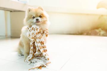 Dog pomeranian wearing a scarf soft sunlight. Front Porch.