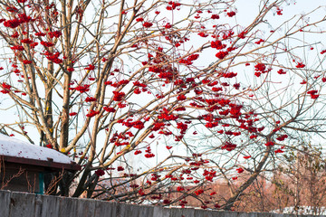 Rowan tree with red berries in a village