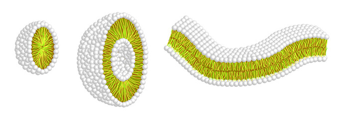 Micelle - Liposom - Doppelschicht