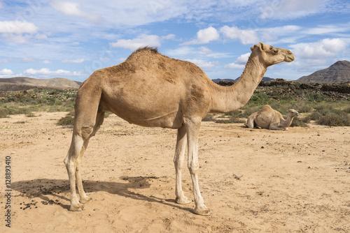 a description of camels in dessert mammals