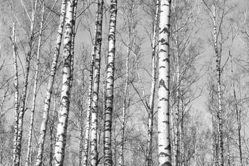 birch forest, black-white photo, autumn landscape