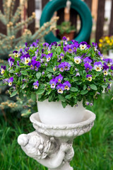 Pansies planted in pots cheer garden in spring