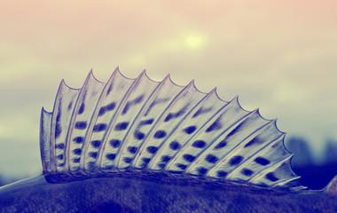 Dorsal fin of a walleye (pike-perch), toned