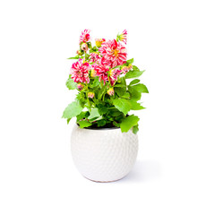 Colorful  dahlia flower plant in pot isolated on white backgroun