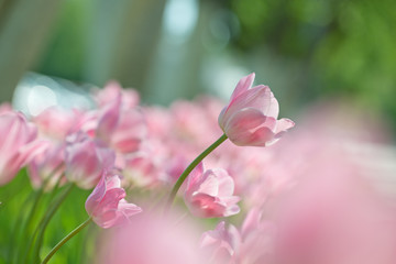 Fuzzy Easter background with pink tulips.
