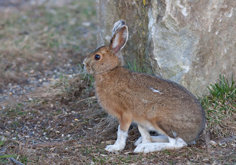 Snowshoe hare or Varying hare (Lepus americanus) in Spring in Canada