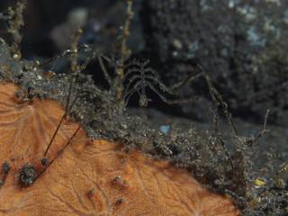 Sea spider Nymphon sp.