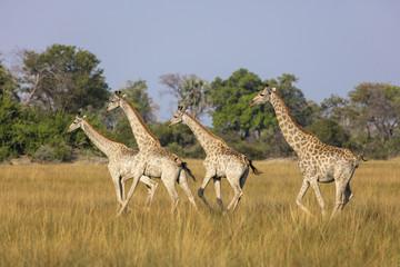South African giraffe or Cape giraffe (Giraffa giraffa giraffa) herd. Okavango Delta. Botswana