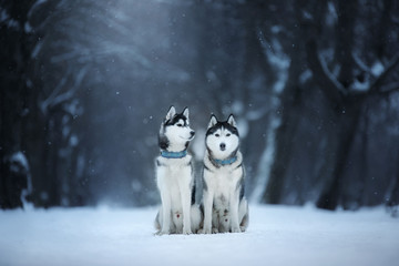 two dogs Siberian Husky sit outdoors, obedient and atmospheric