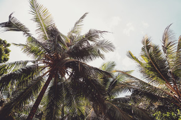 coconut palms and blue cloudy sky.natural  summer background. vintage picture with instagram filter