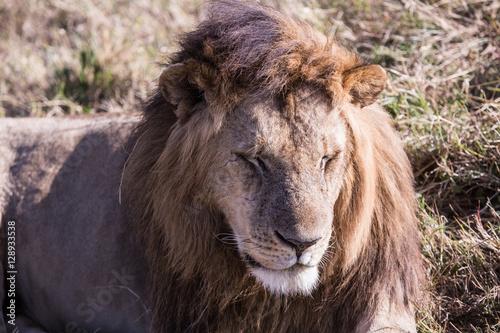 lion in Masai Mara Kenya, Africa