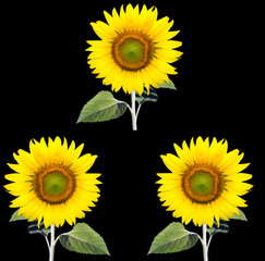 sunflowers black ground.