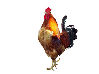 The Singing rooster