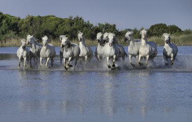 White Stallions Running Through the Water