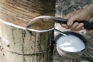 Gide hands of farmers are beginning tires with rubber cups for water timber.