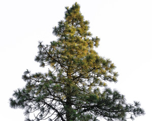 Christmas pine trees, green prickly branches of a fur tree ,on w