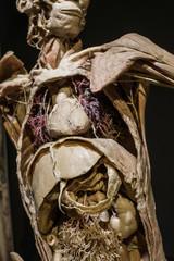 Specimens of human organs