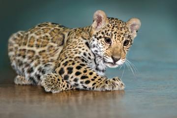 Beautiful baby jaguar lay