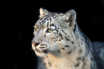 Snow leopard close up portrait isolated on black background