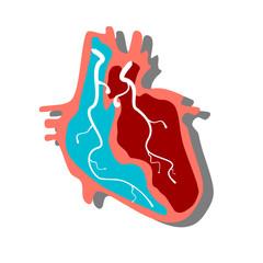Anatomical Heart.Muscular Organ in Human