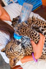 Woman feeding baby leopard in the street of Kanchanaburi, Thaila