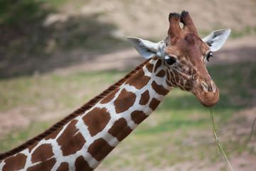 Wall Mural - Reticulated giraffe (Giraffa camelopardalis reticulata).