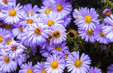 Honey bee on blue aster