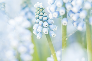 Close up of blooming blue grape hyacinths Fototapete