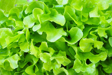 Close up of fresh green oak lettuce