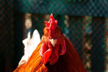 cock sideways only head