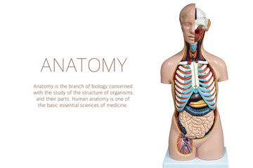 Human anatomy mannequin isolated on white background