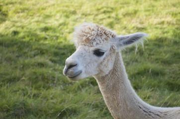 Full white llama/ Lama glama baby head on green summer background