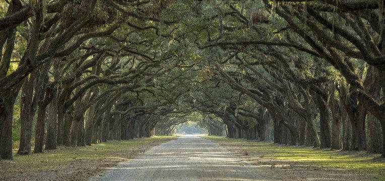 Avenue of oaks in American South