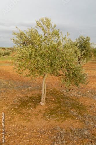 Olivo joven immagini e fotografie royalty free su for Acquisto piante olivo