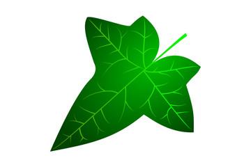 Ivy, ivy leaf