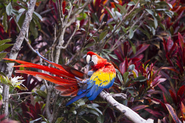 Macaw bird preening while sitting on a branch in a rainforest