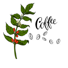 Coffee tree branch with flowers and berries. Cartoon ink sketch. Hand drawn vector illustration.